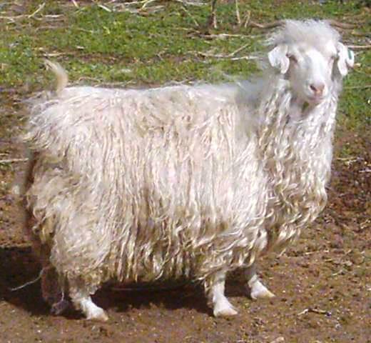 Mohair, chevre angore, fibre mohair, laine mohair 226fc37e04b